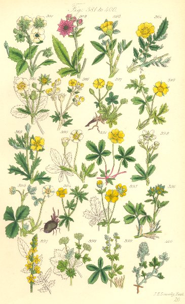 Associate Product WILD FLOWERS. Hautboy Strawberry Cinque-foil Silver-weed Tormentil. SOWERBY 1890