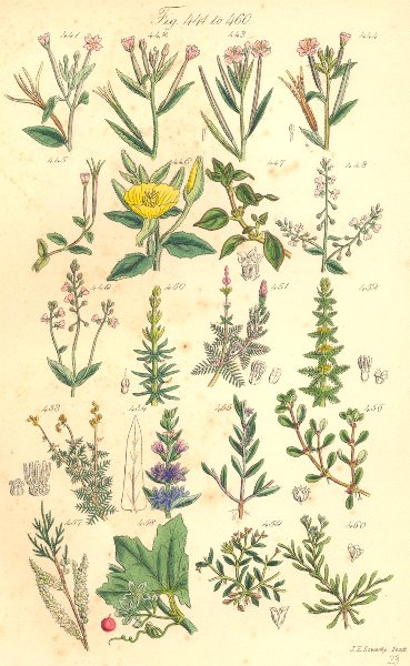 Associate Product WILD FLOWERS. Milfoil Loosestrife Purslane Bryony Strapwort. SOWERBY 1890