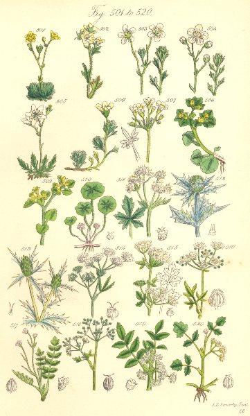 Associate Product WILD FLOWERS. Sanicle Eryngo Hemlock Celery Parsley Honewort. SOWERBY 1890