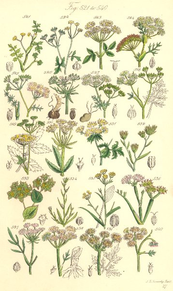 Associate Product WILD FLOWERS. Water Stone-wort Gout Weed Caraway Saxifrage Parsnip. SOWERBY 1890