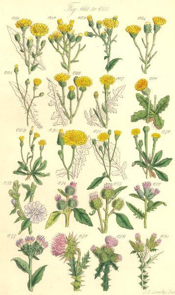 Associate Product WILD FLOWERS.Hawkweed Hawk's-beard Chicory Succory Burdock Thistle.SOWERBY 1890