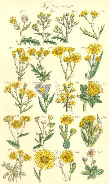 Associate Product WILD FLOWERS.Groundsel Ragwort Starwort Samphire Leopard-bane Daisy.SOWERBY 1890