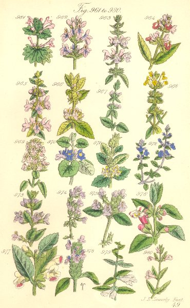 WILD FLOWERS. Betony Cat-Mint Ivy Basil Thyme Calamint Skull-cap. SOWERBY 1890