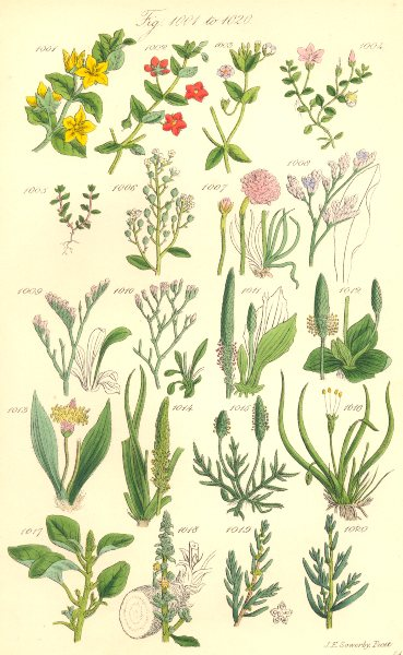 Associate Product WILD FLOWERS. Pimpernel Chaffweed Lavender Plantain Amaranth. SOWERBY 1890