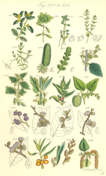 Associate Product WILD FLOWERS.Box Starwort Nettle Pellitory Hop Elm Thorn Gale Birch.SOWERBY 1890