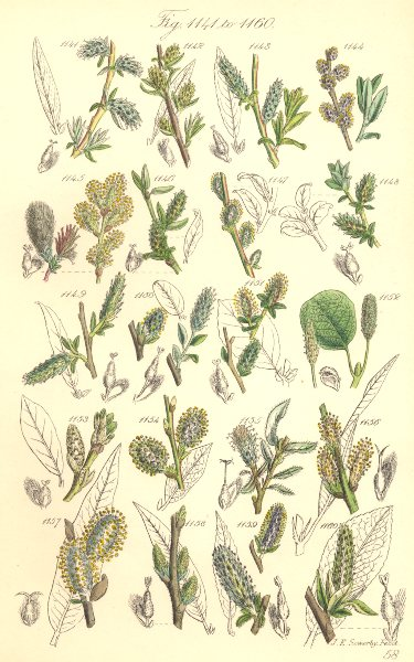 Associate Product WILLOW FLOWERS.Rosemary-leaved,Tree,Creeping,Net-Downy,Long-leaf.SOWERBY 1890