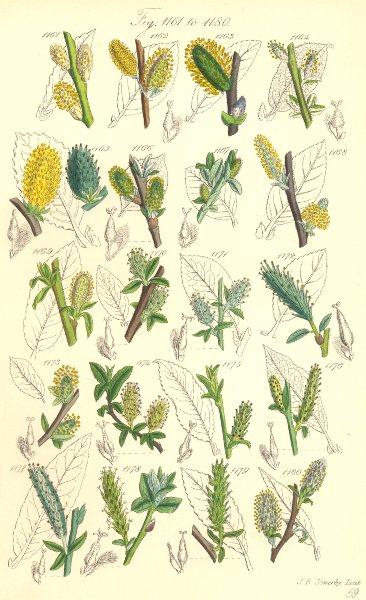 Associate Product WILLOW FLOWERS. Water Great Sumach-Dark-Laurel-Damson-leaved Rock. SOWERBY 1890