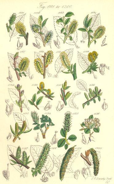 Associate Product WILD FLOWERS. Bilberry-Whortle-Apple-leaved Woolly Willow; Poplar. SOWERBY 1890