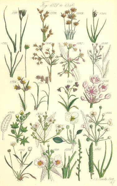 Associate Product WILD FLOWERS.Rush Star-Fruit Water-Plantain Arrow-head Arrow-grass.SOWERBY 1890
