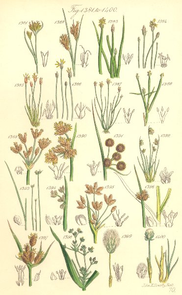Associate Product WILD FLOWERS. Beak-rush Spike-Water-Bull-Club-Cotton-grass. SOWERBY 1890 print