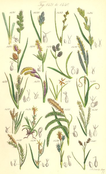 Associate Product SEDGE FLOWERS.Oval Russet Rigid Rock Fingered Silvery Starved Dwarf.SOWERBY 1890