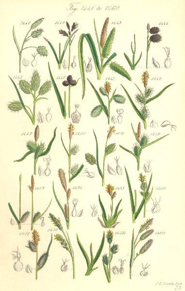 Associate Product SEDGE FLOWERS. Mud Cyperus Black Yellow Tawny Spiked Vernal Heath. SOWERBY 1890
