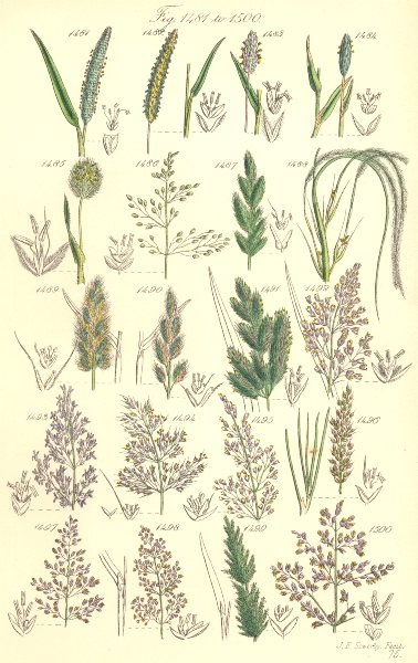 WILD GRASS FLOWERS. Millet Nit Beard Wood Close Bent Fiorin Whorl. SOWERBY 1890