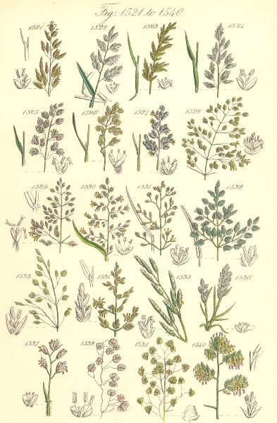 Associate Product WILD GRASS FLOWERS. Meadow Sweet Heath Quaking Cock's-foot grass. SOWERBY 1890