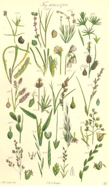 Associate Product WILD FLOWERS.Pond-weed;Cotton-Cut-Wind-Meadow-Flote-Wheat-Rye-grass.SOWERBY 1890