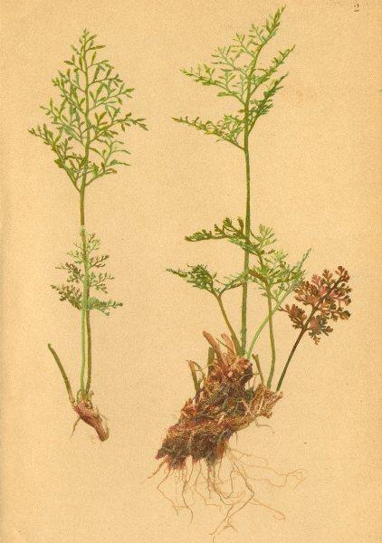 Associate Product ALPENFLORA ALPINE FLOWERS. Cryptogramme crispa (L. ) R. Br-Rollfarn 1897 print
