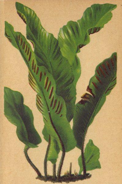 ALPENFLORA ALPINE FLOWERS. Scolopendrium vulgare Sm-Hirschzunge 1897 old print