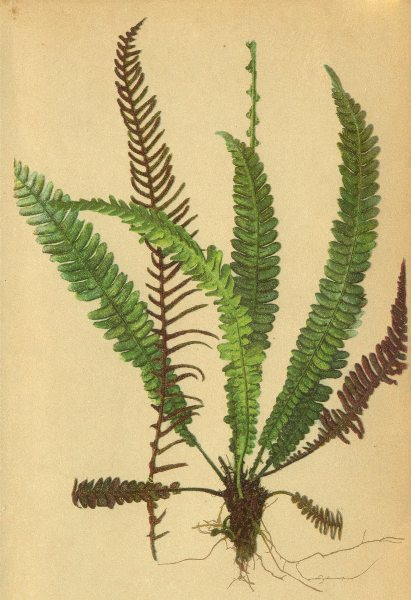 Associate Product ALPENFLORA ALPINE FLOWERS. Blechnum Spicant (L. ) Sm-Rippenfarn 1897 old print