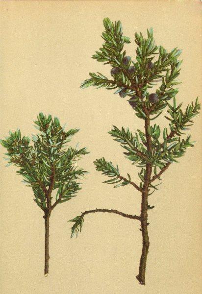 Associate Product ALPENFLORA ALPINE FLOWERS. Juniperus nana W-Zwerg-Wachholder 1897 print