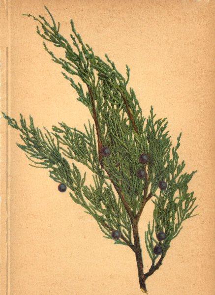 Associate Product ALPENFLORA ALPINE FLOWERS. Juniperus Sabina L-Sevenbaum 1897 old antique print