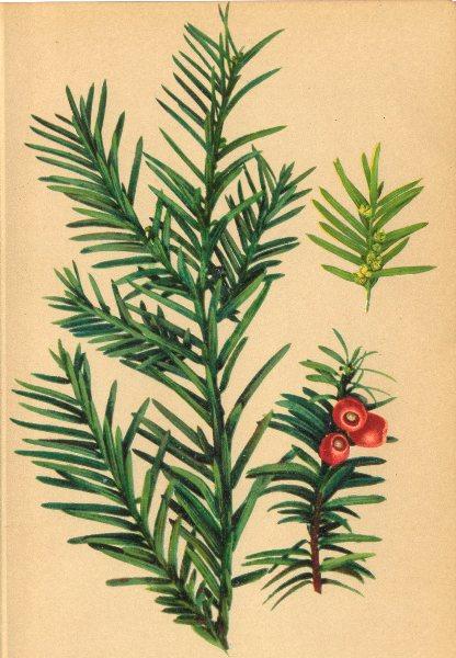 Associate Product ALPENFLORA ALPINE FLOWERS. Taxus baccata L-Eibe 1897 old antique print picture