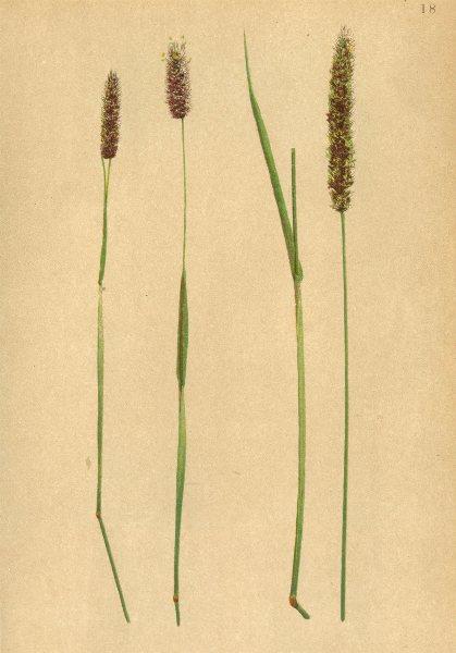 Associate Product ALPENFLORA ALPINE FLOWERS. Phleum alpinum L-Alpen-Lieschgras 1897 old print