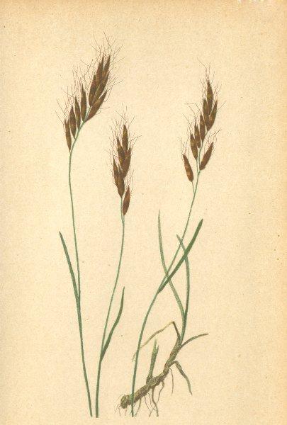 Associate Product ALPENFLORA ALPINE FLOWERS. Avena versicolor Vill-Bunter Hafer 1897 old print