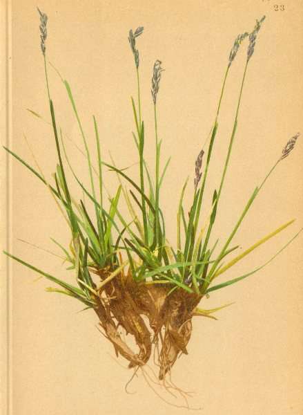 ALPENFLORA ALPINE FLOWERS. Sesleria varia (Jacq. ) Wettst-Buntes Kopfgras 1897