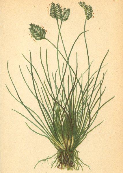 Associate Product ALPENFLORA ALPINE FLOWERS.Oreochloa disticha(Wulf.)Lk-Zweizeiliges Berggras 1897