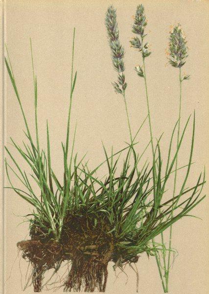 Associate Product ALPENFLORA ALPINE FLOWERS. Köleria hirsuta Gaud-Rauhhaariges Schillergras 1897