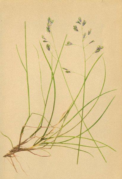 Associate Product ALPENFLORA ALPINE FLOWERS. Festuca pulchella Schrad-Schöner Schwingel 1897