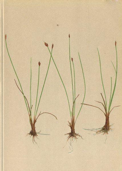 Associate Product ALPINE FLOWERS. Heleocharis pauciflora LK-Wenigblüthige Sumpfbinse 1897 print