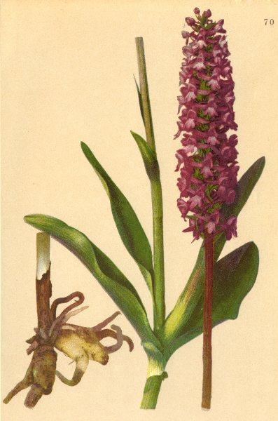 Associate Product ALPENFLORA ALPINE FLOWERS. Gymnadenia conopea (L. ) R. Br-Mücken-Höswurz 1897