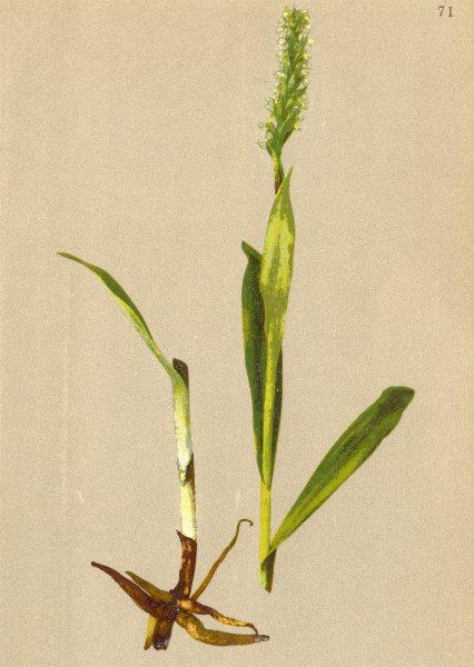 Associate Product ALPENFLORA ALPINE FLOWERS.Gymnadenia albida L.C.Rich-Weissblüthige Höswurz 1897