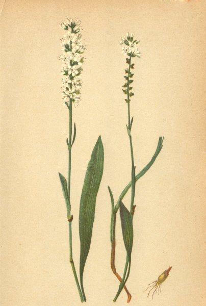 Associate Product ALPENFLORA ALPINE FLOWERS. Polygonum viviparum L-Knospenknöterich 1897 print