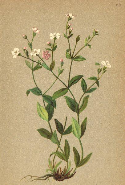 Associate Product ALPENFLORA ALPINE FLOWERS. Silene rupestris L-Felsen-Leimkraut 1897 old print