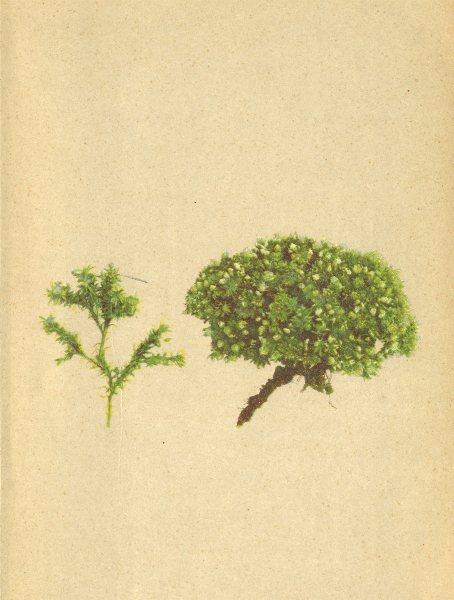 Associate Product ALPENFLORA ALPINE FLOWERS. Alsine sedoides (L. ) Kitt-Mauerpfeffer-Miere 1897