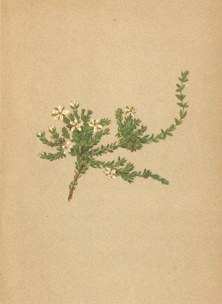 Associate Product ALPENFLORA ALPINE FLOWERS.Alsine lanceolata(All.)-Lanzettblättrige Miere 1897