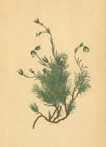 Associate Product ALPENFLORA ALPINE FLOWERS.Alsine recurva(All.)Wahlbg-Krummblättrige Miere 1897