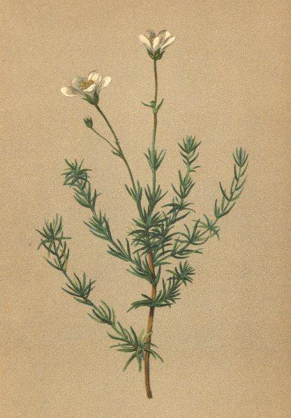 Associate Product ALPENFLORA ALPINE FLOWERS. Arenaria grandiflora L-Grossblüthiges Sandkraut 1897