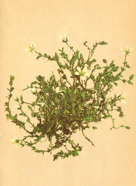Associate Product ALPENFLORA ALPINE FLOWERS. Arenaria ciliata L-Gewimpertes Sandkraut 1897 print