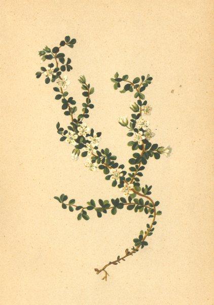 Associate Product ALPENFLORA ALPINE FLOWERS. Arenaria biflora L-Zweiblütiges Sandkraut 1897