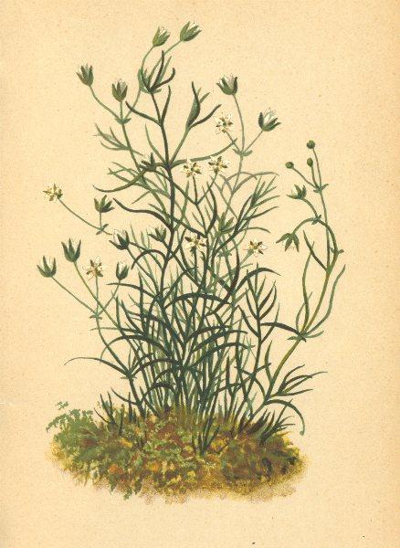 Associate Product ALPENFLORA ALPINE FLOWERS. Möhringia muscosa. L-Moosartige Nabelmiere 1897