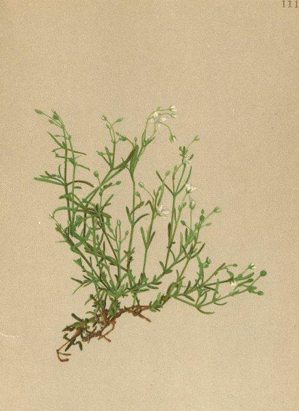 Associate Product ALPENFLORA ALPINE FLOWERS. Moehringia Ponae Fenzl-Pona's Nabelmiere 1897 print