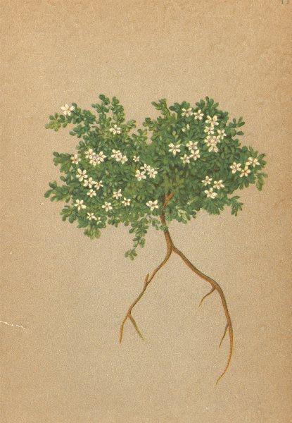 Associate Product ALPENFLORA ALPINE FLOWERS. Herniaria alpina Vill-Alpen-Bruchkraut 1897 print