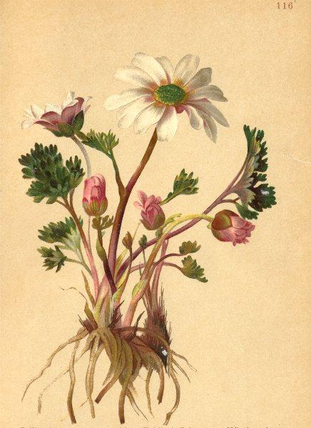 Associate Product ALPENFLORA. Callianthemum anemonoides Schott-Windröschen-ähnliche 1897 print