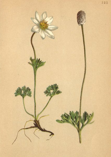 Associate Product ALPENFLORA ALPINE FLOWERS. Anemone baldensis L-Monte Baldo-Windröschen 1897