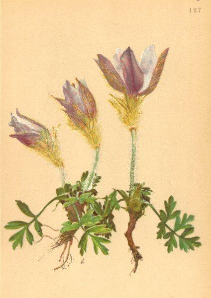 ALPENFLORA ALPINE FLOWERS. Pulsatilla vernalis Mill-Frühlings-Küchenschelle 1897