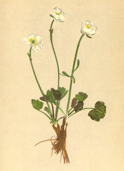 Associate Product ALPENFLORA ALPINE FLOWERS. Ranunculus alpestris L-Alpen-Hahnenfuss 1897 print