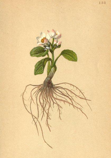 Associate Product ALPENFLORA. Ranunculus parnassifolius L-Studentröschenblättriger Hahnenfuss 1897